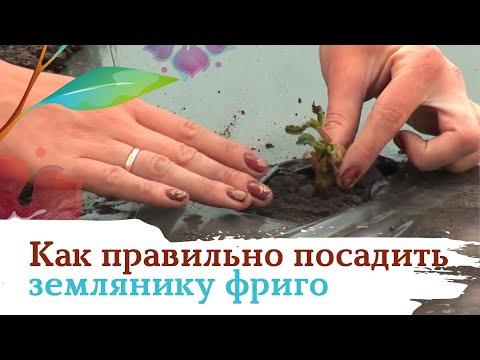 Вопрос: Как правильно посадить клубнику фриго?