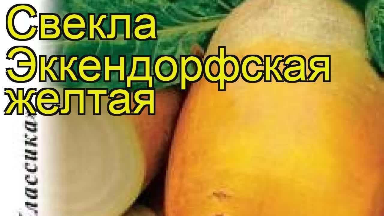 Свекла Эккендорфская желтая. Краткий обзор, описание характеристик, где купить семена beta vulgaris