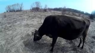 Клещи атакуют....Обработка коров от клеща
