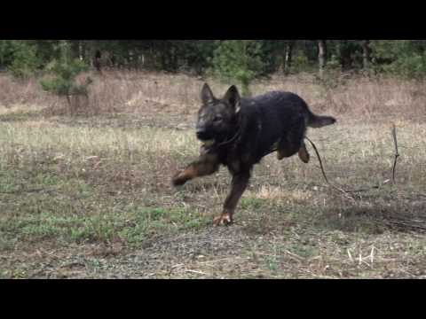 Alma German Shepherd - Detection Out and Inside