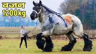 यकीन नहीं होगा जब देखेंगे कितने बड़े हैं दुनिया के सबसे बड़े घोड़े   Biggest Horse Breeds in the World