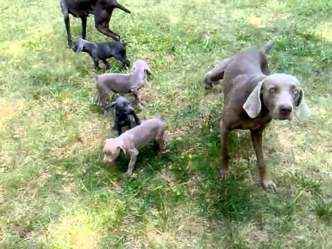 blue and silver weimaraner puppies playing in the yard. Black Bedroom Furniture Sets. Home Design Ideas