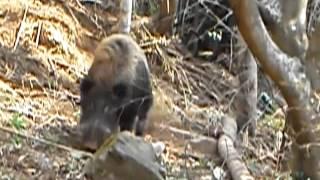 南伊豆の山中で逮捕したイノシシ(^_^)/~タテガミをたて威嚇してきました...