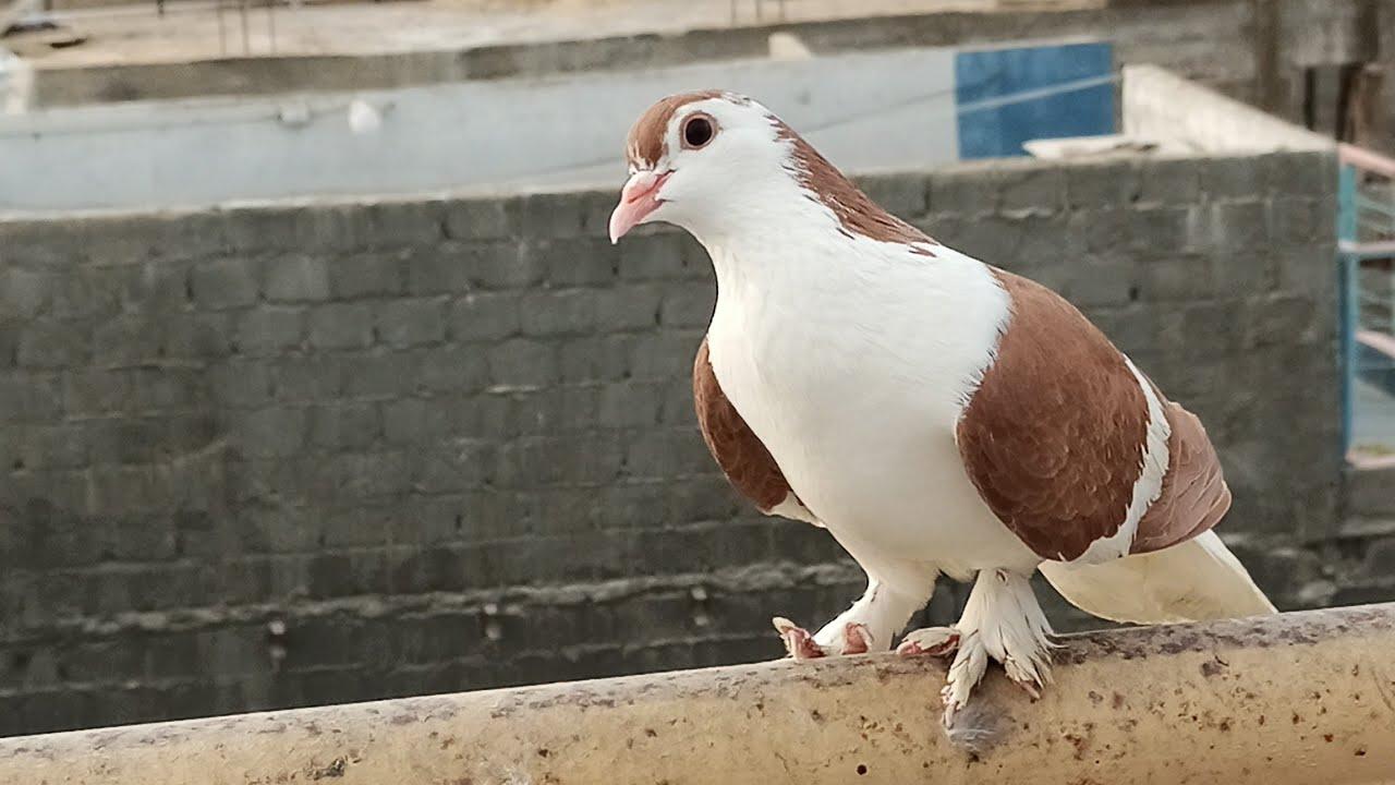 Lal Sherazi Gandedaar Khol dia or Ura dia - Sabz Sherazi b khol diye in Urdu/Hindi - Karachi Pigeons