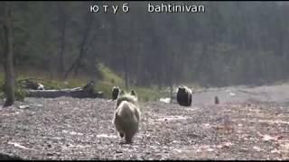 четыре медведя попали на двух собак.  круто
