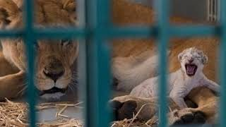News Update Syria war: Lion rescued from Aleppo zoo gives birth in Jordan 14/08/17