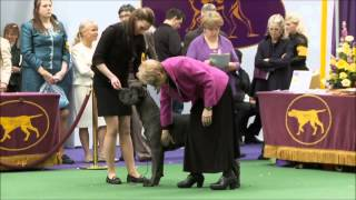 2014 Westminster Cane Corso Breed Judging