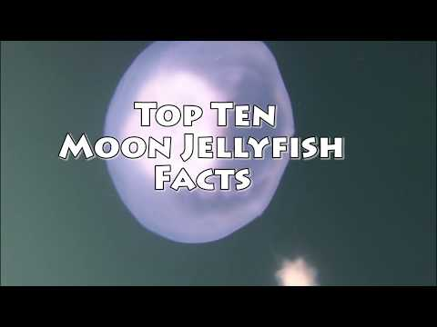 Top 10 Moon Jellyfish Facts Video