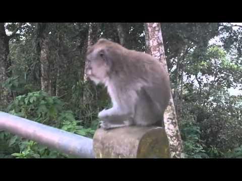 Bojog Asli A.K.A. Real Monkey