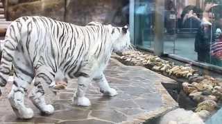 Тигр на охоте(, 2014-12-02T18:25:38.000Z)
