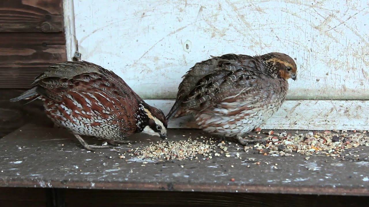 Bobwhite Quail - Male And Female Pair In Normal Colours -2124