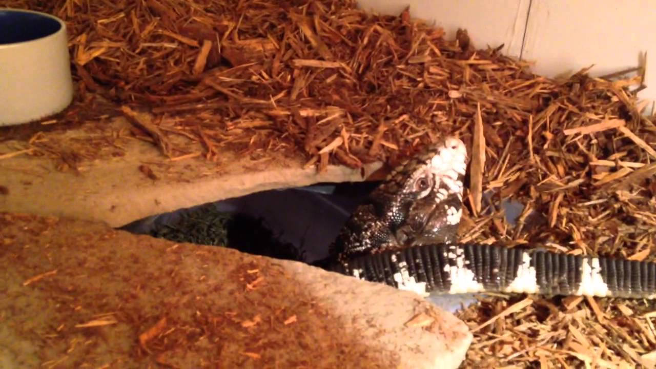 tegu and monitor stacked cage youtube