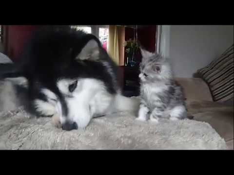 Funny animals are playing in the room || Dog and cat