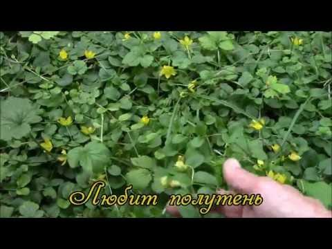 Цветок Вербейник Златовласка l Русские Семена - интернет