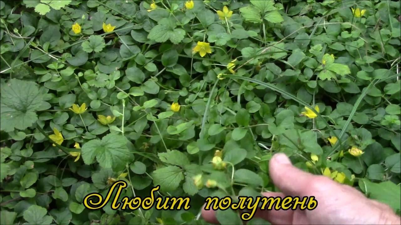 луговой чай растение