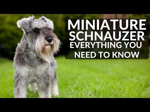 MINIATURE SCHNAUZER 101 - Everything You Need To Know About Owning A Schnauzer Puppy