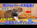 ボス吉に特許取得の脱げない猫用ハーネスを装着してみたら、突然ムーンウォークを始めました!【ボス吉ジャクソン爆誕!】