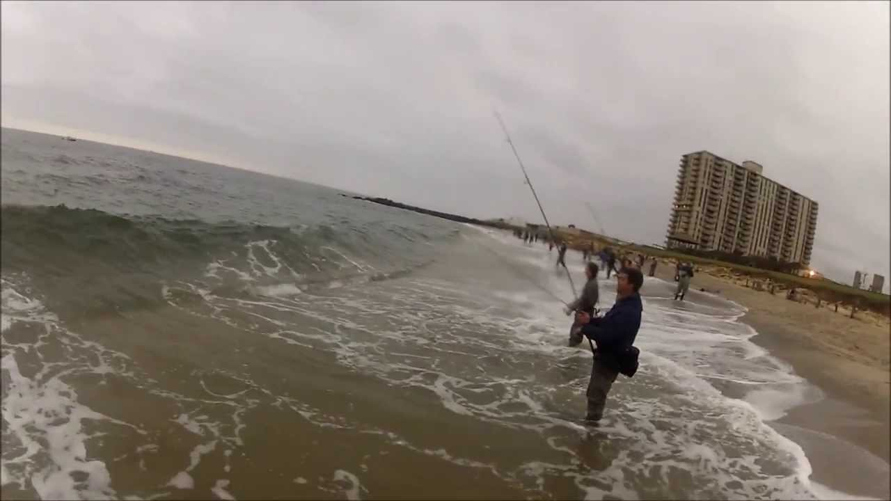 Raw striped bass and bluefish blitzing on peanut bunker for Surf fishing nj