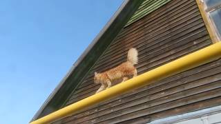 Cat Parkour, Паркур, Кот на газовой трубе! A new way of traveling CATS! Cat on a gas pipe!