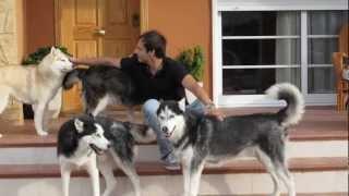 Perros,mascotas,pets,husky Siberiano, Dogs,mi Amigo,siberian Husky Si Quieres Comprar .