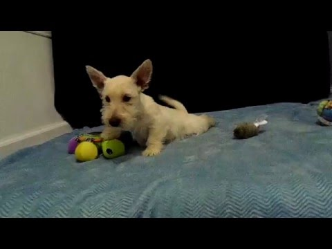 CHRISSIE - 8 week old female Scottish Terrier