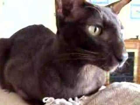 Chestnut Oriental Cat