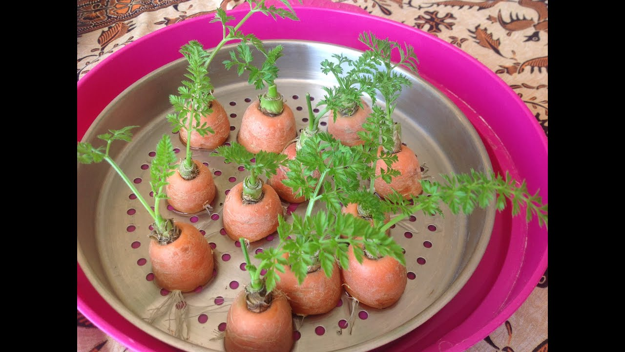 C mo rebrotar y plantar zanahorias en una maceta parte - Plantar limonero en maceta ...