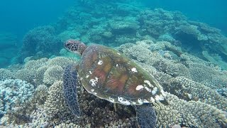Swimming with a Turtle across the reef, Coral Bay, Western Australia