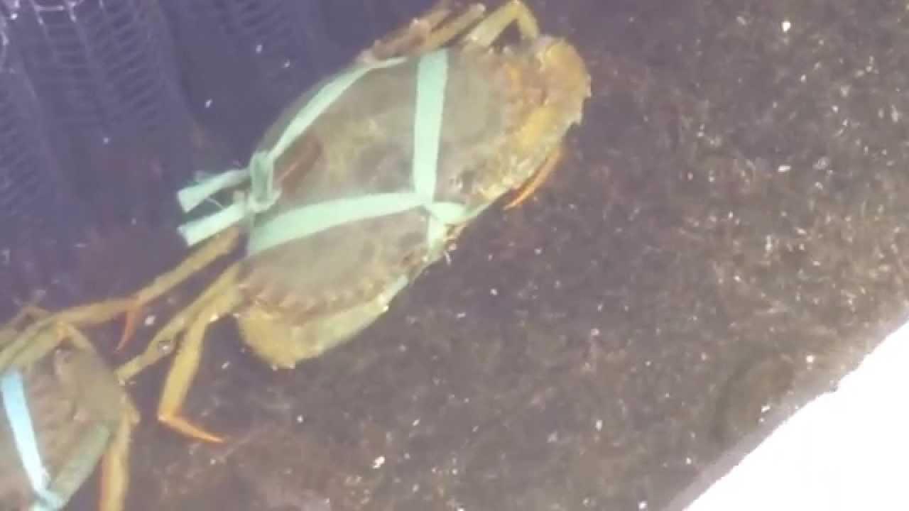 宜蘭縣礁溪鄉美食推薦-【大塭觀光休閒養殖區-蘭陽蟳屋餐廳(宜蘭紅蟳餐廳)】~~螃蟹養殖 - YouTube