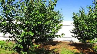 видео Обрезка абрикоса летом, осенью, весной. Особенности формировки абрикоса