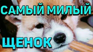 Японская собака СИБА ИНУ наш щеночек