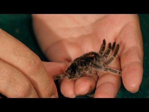 Why Do Tarantulas Molt? | Pet Tarantulas