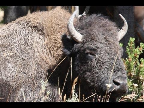 SAFARI YELLOWSTONE 2- My First Bison!