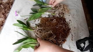 Дендробиум фаленопсис  покупка по уценке и пересадка в кору
