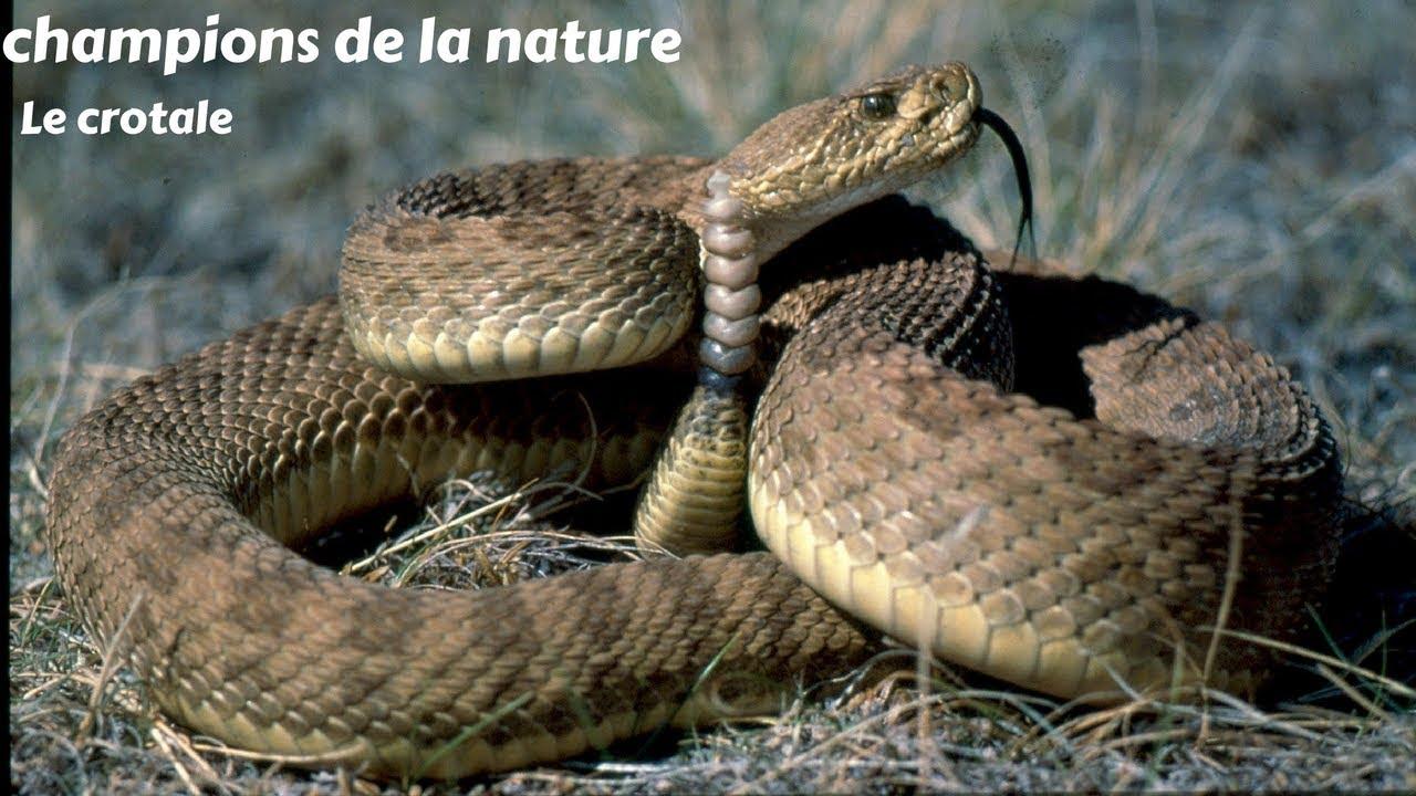 Le crotale - champions de la nature