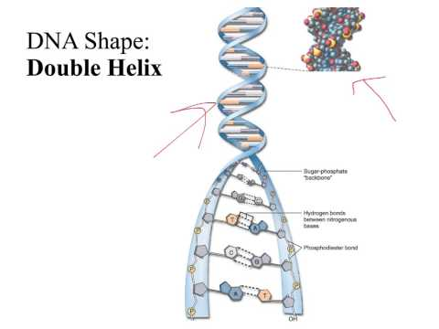 DNA Structure, Function, and Replication