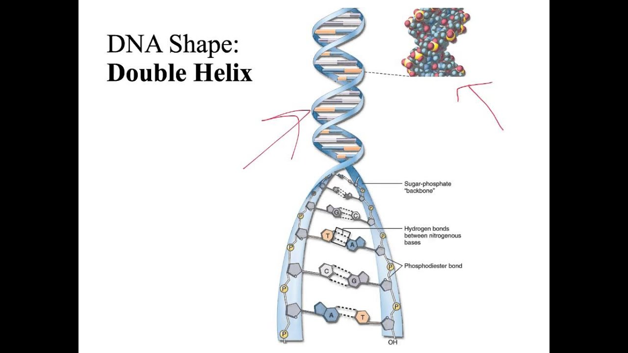 DNA Structure, Function, and Replication - YouTube