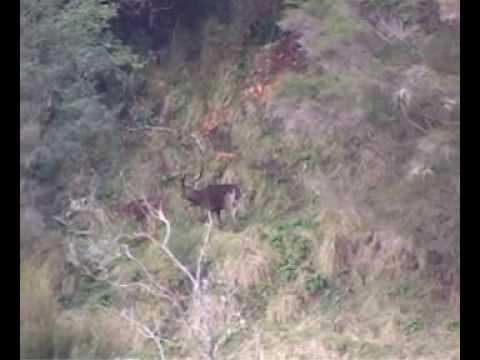 Real Wild Adventures -Rusa Deer in New Zealand