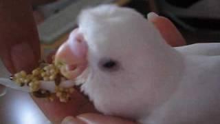 セキセイインコの雛のレティをさしえしています。初めて雛を育てたので...
