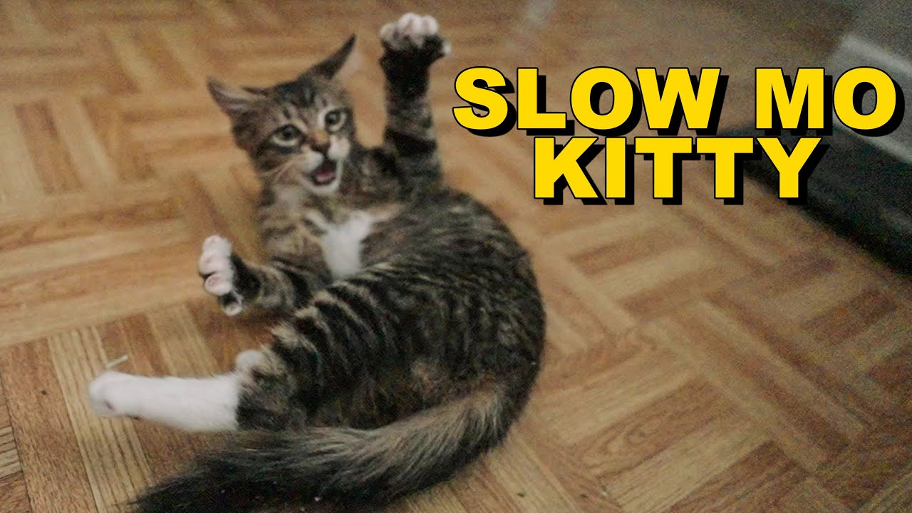 Maine Coon Kitten Crazy Reaction to First Catnip