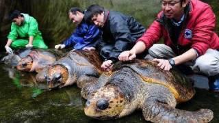 徳島県美波町「日和佐うみがめ博物館カレッタ」のアカウミガメのオスが...