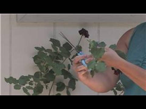 Rose Gardening How To Take Care Of Rose Plants Youtube