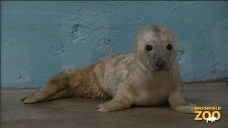 Grey Seal Pup Born at Brookfield Zoo