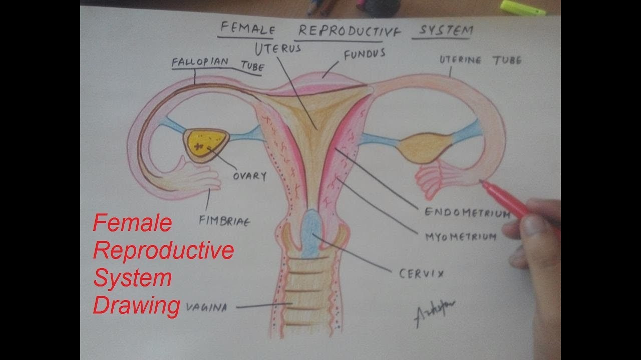 how to draw female reproductive system [ 1280 x 720 Pixel ]