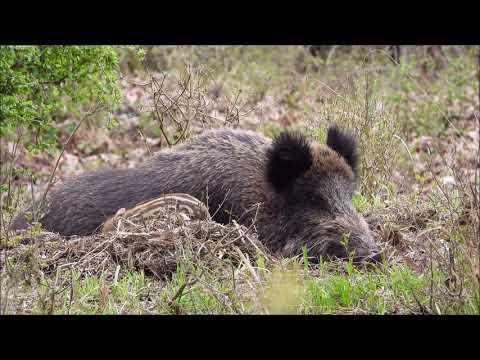 Bachyně se selaty -  Videolovy - Life in nature