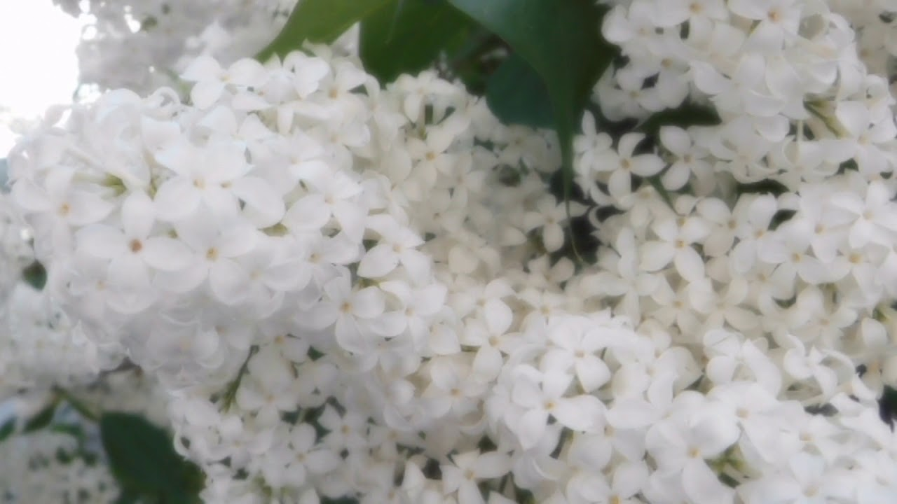 Video Of White Lilac Flower Youtube