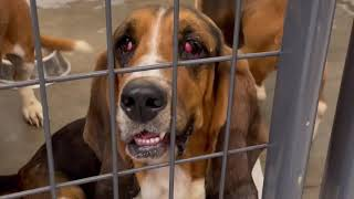 36 Dogs Rescued! Check Out All of These Basset Hounds!
