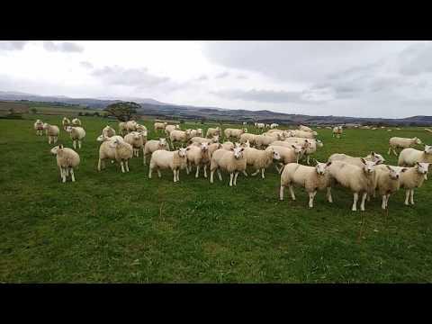 BAA BAA BLACK SHEEP AT GLANTON
