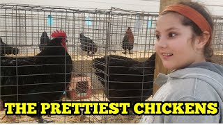 A BEAUTY PAGEANT FOR CHICKENS - Poultry Show