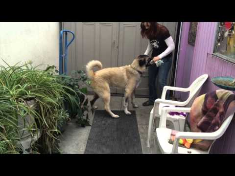 Opie-German Shepherd Rescue - Anatolian Shepherd - ADOPTED